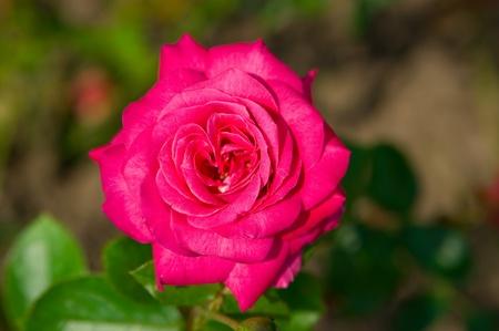 illuminati: Rosa rose in giardino illuminato con sun