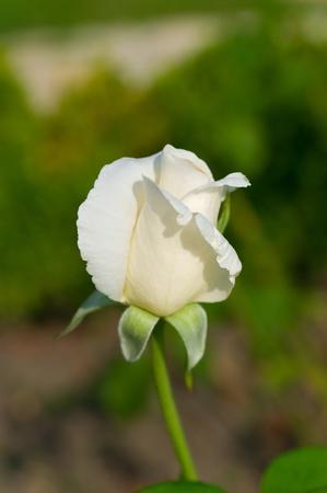 Blanco aument� en jard�n iluminado con sol