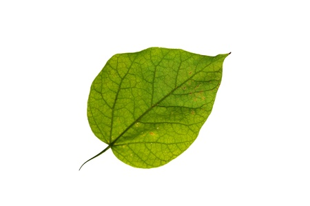 Green leaf of tree isolated on white