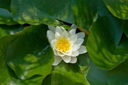 illuminati: fiore di bianco waterlily illuminato con sun Archivio Fotografico