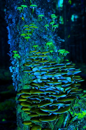 amount of toadstools on stub close up.  fluorescent green and blue color Stock Photo