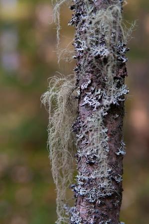 Liquen gris en el tronco de un �rbol de cerca