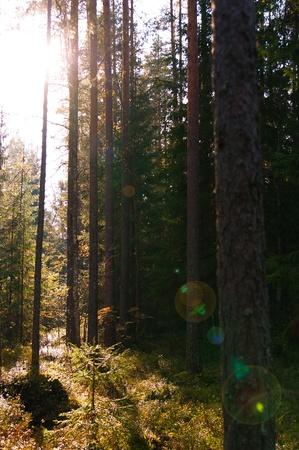 Sun shines through trees. luminosity rays