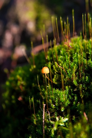 Single little toadstool in the moss close up photo