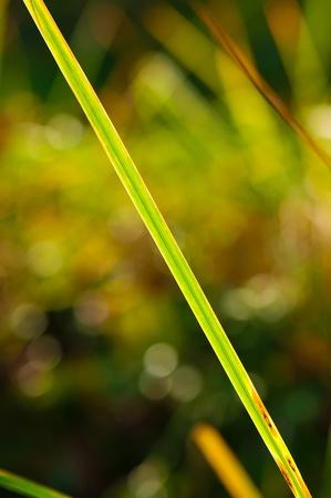 illuminati: Foglia lunga nel giardino illuminato con il sole