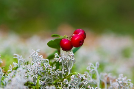 branch of ripe cow-berry in lichen close up