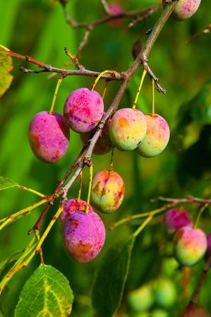 Ciruelas maduras en la rama en la huerta. Gotas de agua