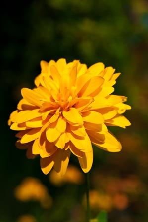 Flor de Heliopsis amarillo cerca. D�a soleado. Foto de archivo