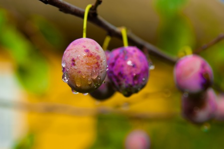 Ripe Plums on branch in orchard. Drops of water Stock Photo