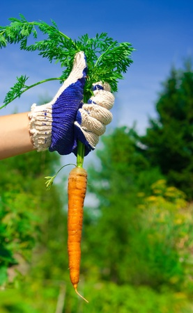 hand holding bunch of fresh carrots in garden. sunny day