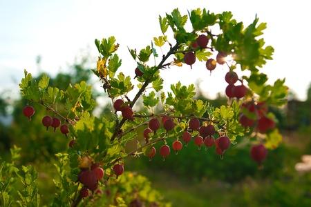 Grosella roja madura que cuelga de una rama Foto de archivo