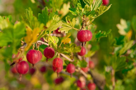 Ripe red gooseberry hanging from a branch