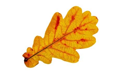 hoja de roble oto�o amarilla sobre fondo blanco. luz de fondo Foto de archivo