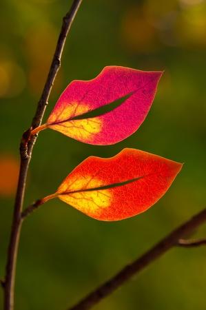 Oto�o multicolor hojas en forma de labios en la rama. luz de fondo