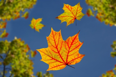 hojas de oto�o ca�das Arce contra el cielo azul