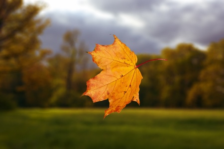 single falling autumn leaf in park against evening landscape