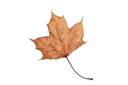 image of dry maple leaf isolated on white