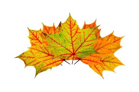 primer plano del oto�o Arce hojas multicolores aislados en blanco