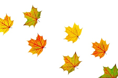 close-up of the autumn maple multicolored leaves isolated on white photo