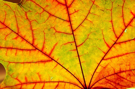 close-up of the autumn maple multicolored leaf
