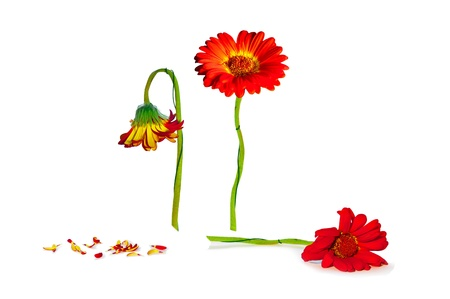 decadence: life cycle of herbera flower isolated on white
