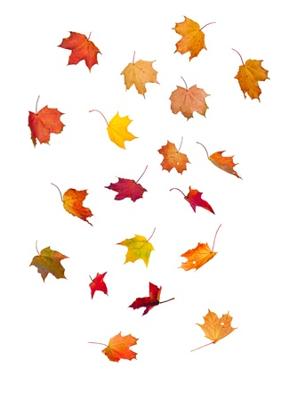 autumn leaves falling: falling maple leaves on isolated white background Stock Photo