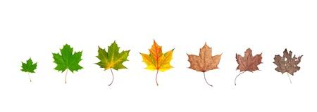dode bladeren: Verschillende stadia van het leven van een blad symboliseert het menselijk leven. Geplaatst in lijn, geïsoleerd op wit Stockfoto