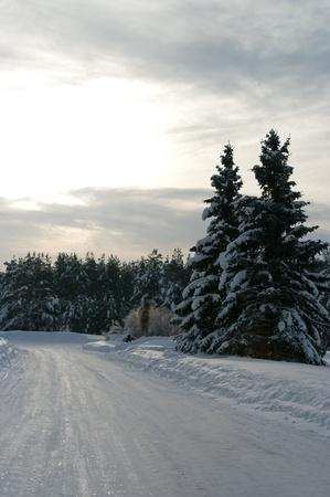 abetos cubiertos de nieve en el bosque de invierno