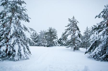 abetos cubiertos de nieve en el invierno los bosques Foto de archivo