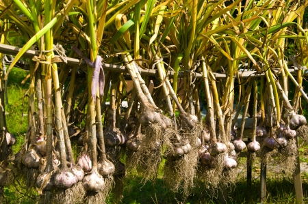 Garlic bulbs hanging and drying on a sun