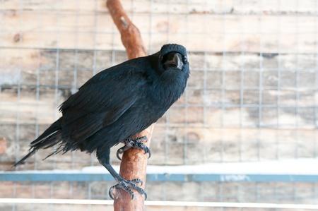 Primer plano de un cuervo con las alas cortadas en la jaula