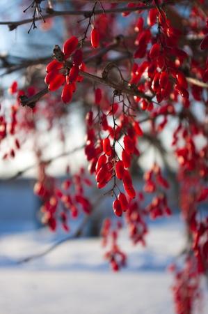 Berberís rojas en la nieve en la rama Foto de archivo