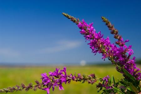 Hermosas flores de color violeta con el campo y el cielo en el fondo