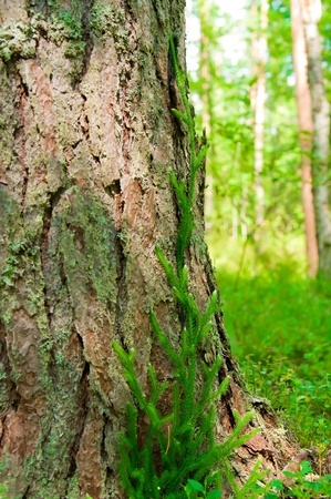 lycopodium musgo en el árbol de cerca en el bosque Foto de archivo