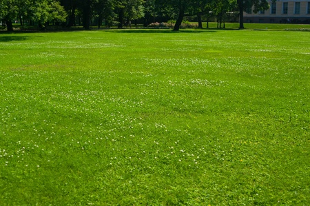 trifolium: Fresh green lawn with with white clover flowers Stock Photo