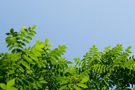 Las hojas verdes y el cielo azul en el fondo