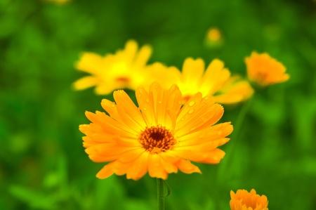 Amarillo-naranja de flores de caléndula en contra de un verde jugoso, con gotas en los pétalos Foto de archivo