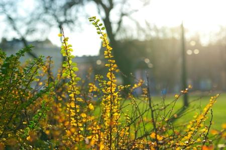 otoño, arbusto con hojas multicolores iluminados por el sol