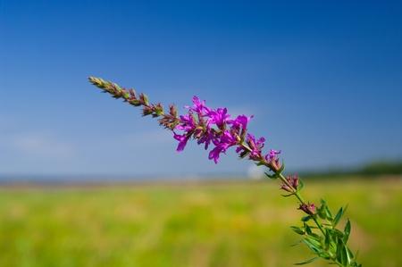 Flor violeta hermosa con el campo y el cielo en el fondo