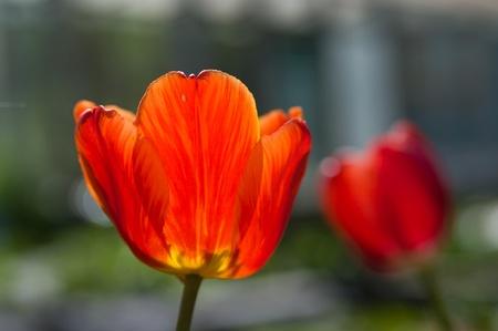 Frescos tulipanes en flor en el jard�n de primavera Foto de archivo