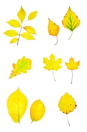 Oto�o amarillo deja colecci�n aislada en el fondo blanco