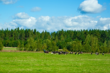 Herd of cows on field under blue sky