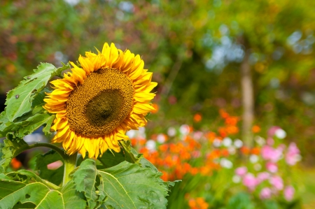 Beautiful sunflower with multicolored flowers on the background
