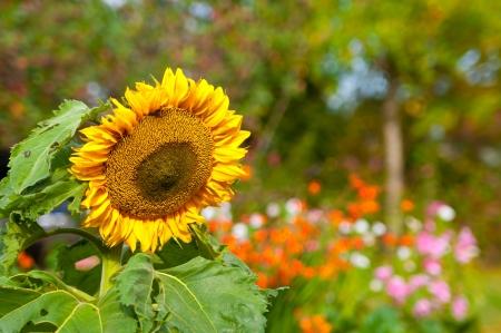 Girasol hermoso con flores multicolores en el fondo Foto de archivo