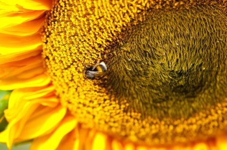 Beautiful sunflower close up with bumble bee Stock Photo