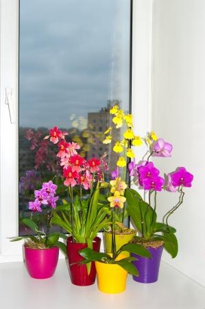 Diferentes orqu�deas multicolores en las macetas en el alf�izar de la ventana Foto de archivo