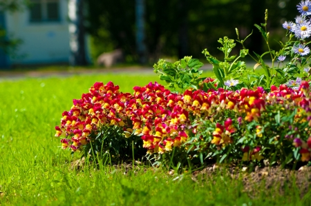 Summer flower bed with yellow and red snapdragons