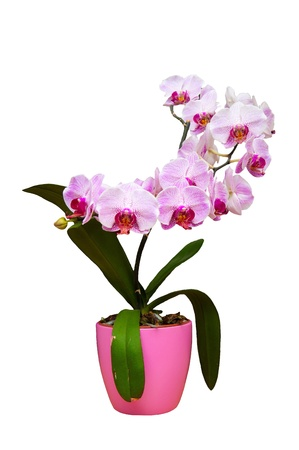 pink orchid in pot isolated on white photo