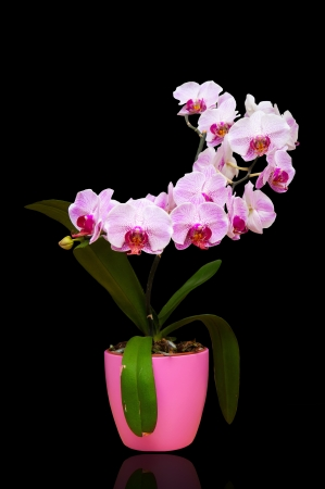pink orchid in pot isolated on black photo