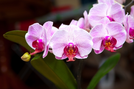 branch of pink dotted orchids close up Stock Photo